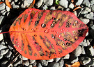 Raindrop Fall Leaf