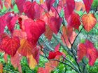 Red Cercis Leaves
