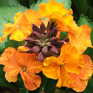 Apricot Wallflower