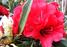 Big Red Rhodo