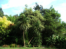 Cabbage Trees Summer