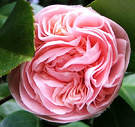 Camellia First Pink