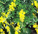 Genista Broom Shrub