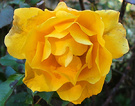 Golden Rose Cold