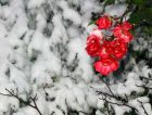 Snow Brave Red Roses