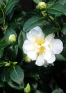 White Camelia Bloom